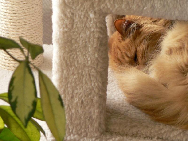 raja-sleeping-in-cat-tree-2-fz5-04-08-2011